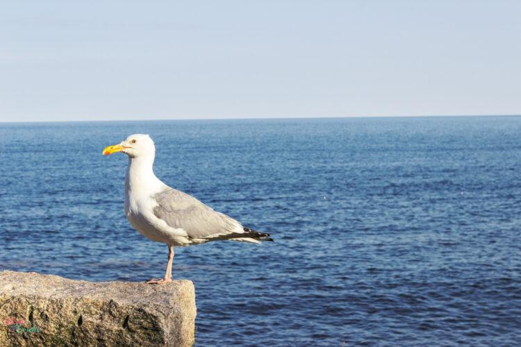 seagull at Acadia National park