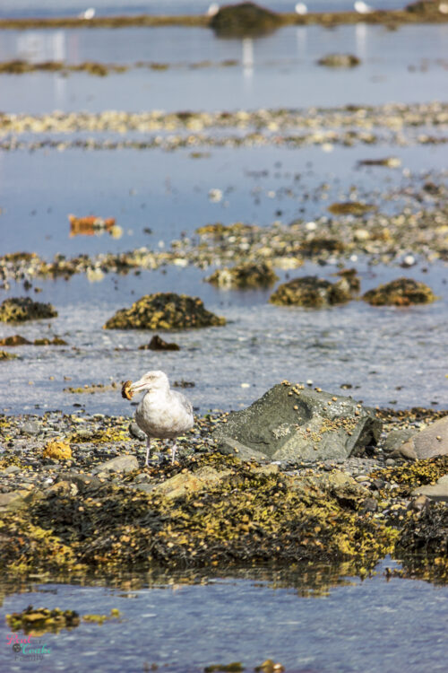 Seagull eating crab at Sand Bar in Acadia National Park