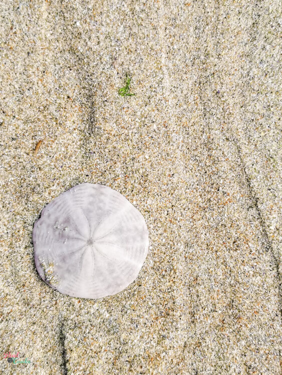 Sand dollar in sand