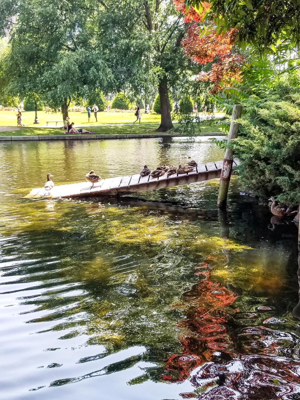 ducks in Boston Public Gardens